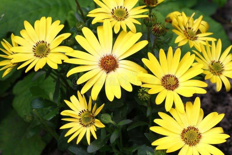 Оsteospermum-Blume stockfotos