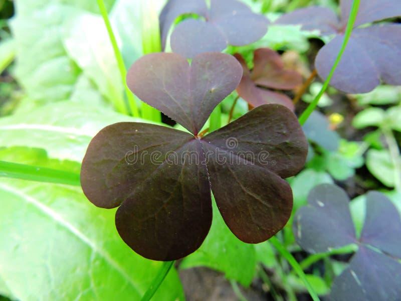Оxalis na floresta foto de stock royalty free