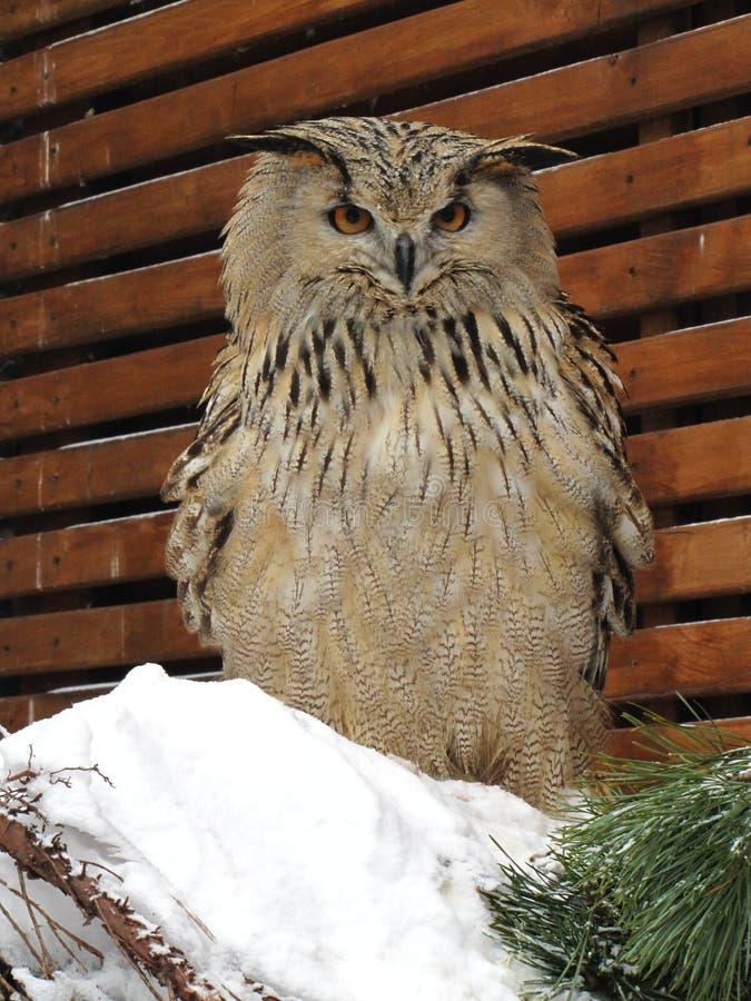Ð  sowy samotni stojaki na śniegu fotografia royalty free