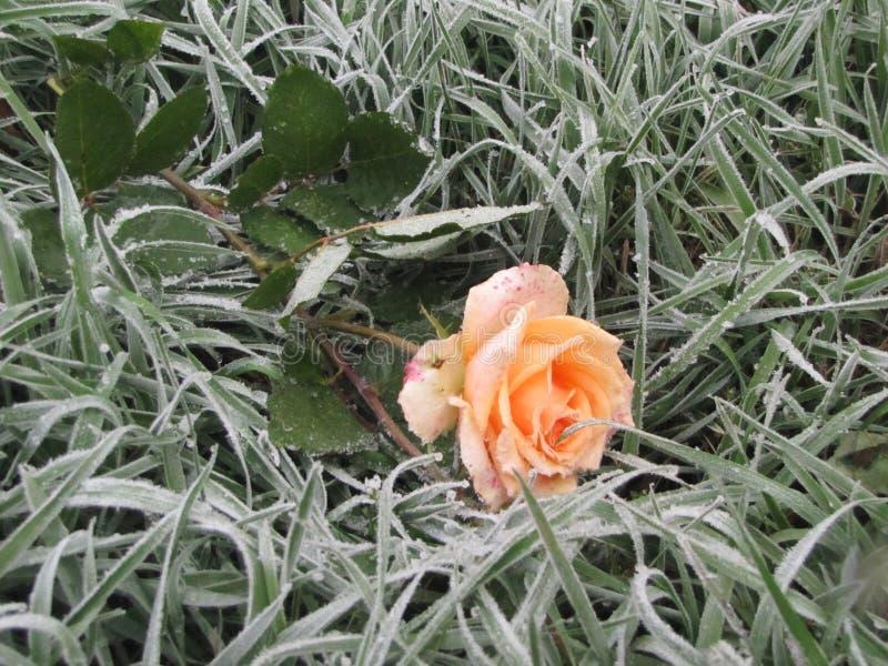 Ð  ÐΜÐ ¾ жиÐ'аР½ Ð ½ Ð°Ñ  зиР¼ а Ð ² Ñ  ð°Ð'у Niespodziewana zima w ogródzie fotografia royalty free
