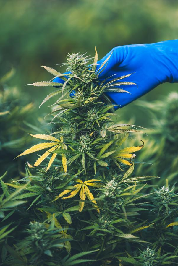 Ð ¡在Ð ¡ anada,大麻的自由耕种的annabis合法化 免版税库存照片