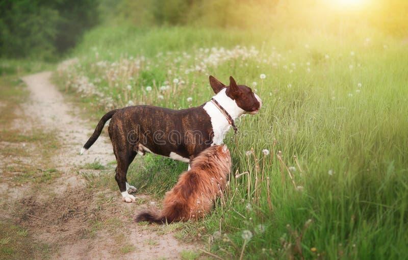 Ð ¡ Ð ¾ ¾ шка del 'Ð?рьÐ?Ñ€ и кРdi ÑŒÑ di бака буЄ/bullterrier e gatto del cane immagini stock libere da diritti