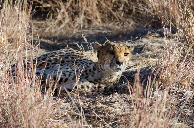 Ð ¡ heetah w konserwacja terenie w Namibia zdjęcia stock