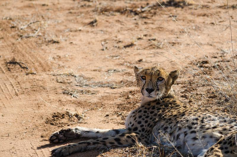 Ð ¡ heetah w konserwacja terenie w Namibia zdjęcie royalty free