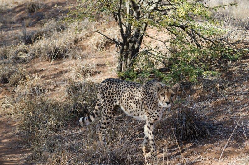 Ð ¡ heetah w konserwacja terenie w Namibia fotografia stock