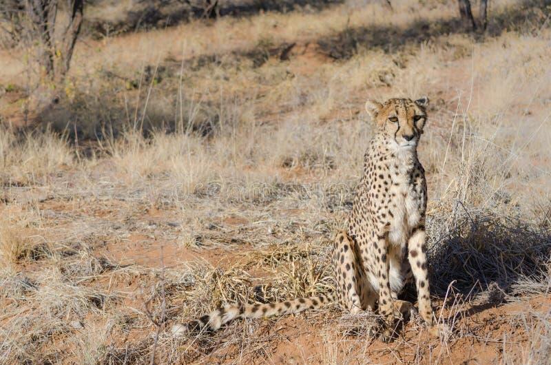 Ð ¡ heetah w konserwacja terenie w Namibia zdjęcia royalty free