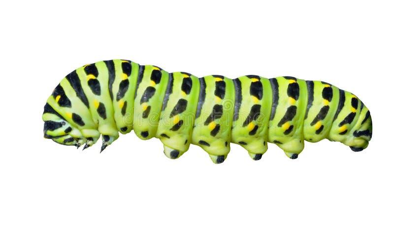 Ð-¡ som är aterpillar av swallowtail    royaltyfri bild