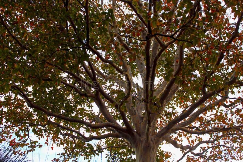 Дерево мирта Crape, Muskogee Lagerstroemia indica, сад центра Getty стоковая фотография rf