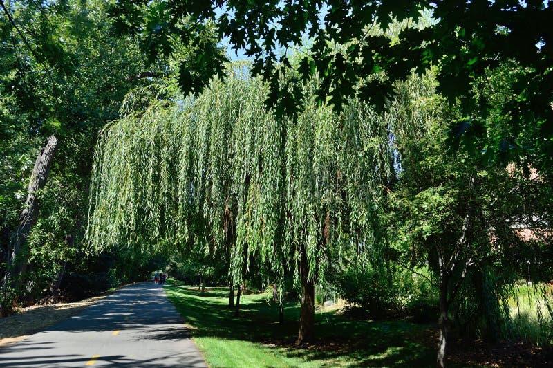 Дерево плача вербы на Гринбелт, Boise Айдахо стоковые изображения