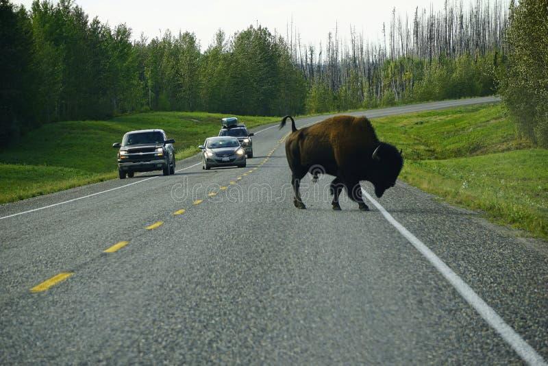 Дикая дорога скрещивания американского бизона в Юконе стоковое фото