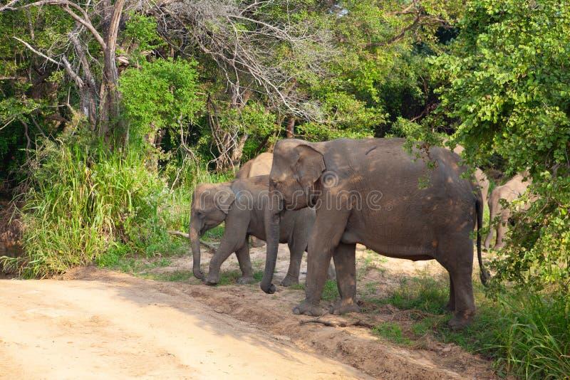 Дикие слоны есть траву, парк Hurulu Eco, Шри-Ланка стоковое фото rf