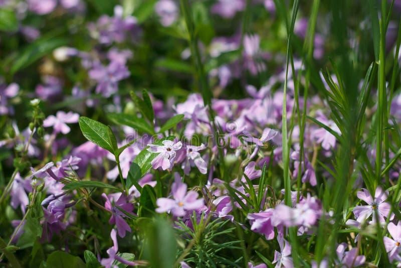 дикие фиолетовые цветеня в солнце в траве стоковое фото rf