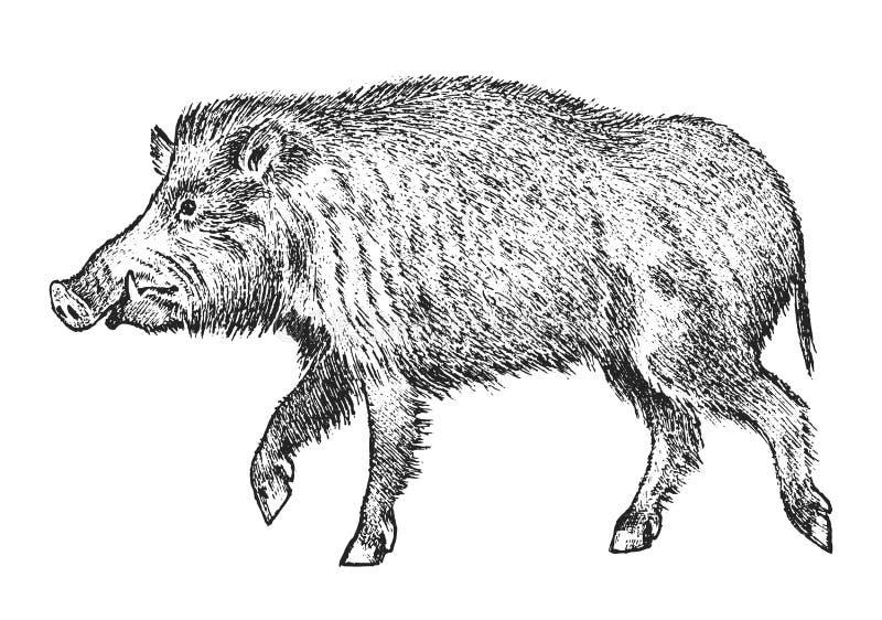 Дикий кабан, свинья или свиньи, животное леса Символ севера винтажный monochrome стиль Млекопитающее в Евразии выгравированная ру иллюстрация вектора
