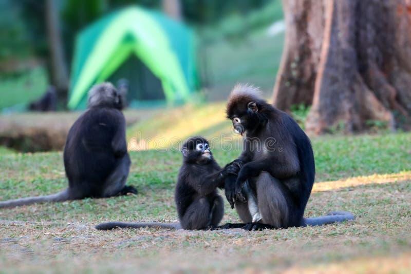 Дикое животное настолько милое на месте для лагеря, Dusky langur или игре обезьяны лист стоковые фото