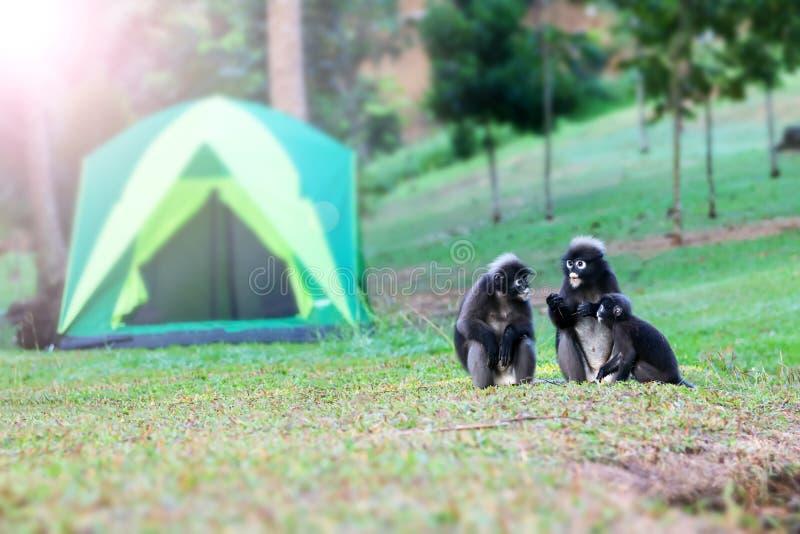 Дикое животное настолько милое на месте для лагеря, Dusky langur или игре обезьяны лист стоковые изображения