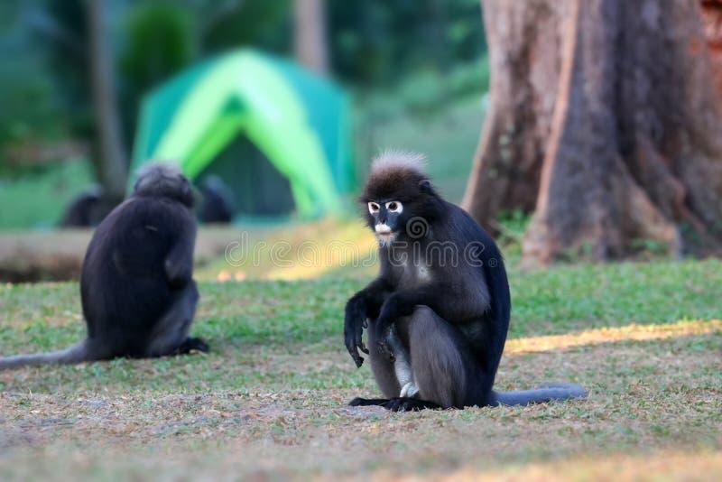 Дикое животное настолько милое на месте для лагеря, Dusky langur или обезьяне лист стоковые изображения