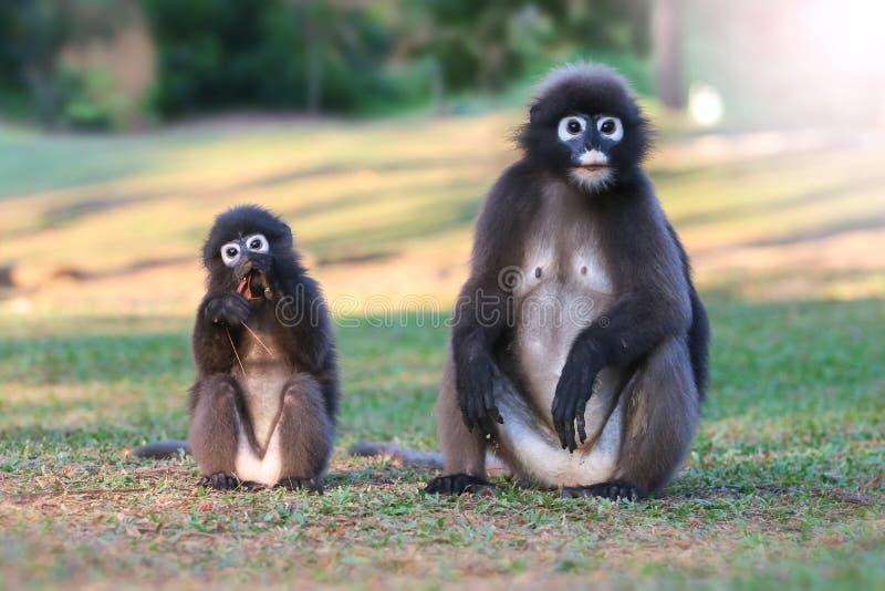 Дикое животное настолько милое на месте для лагеря, Dusky langur или обезьяне лист стоковое изображение