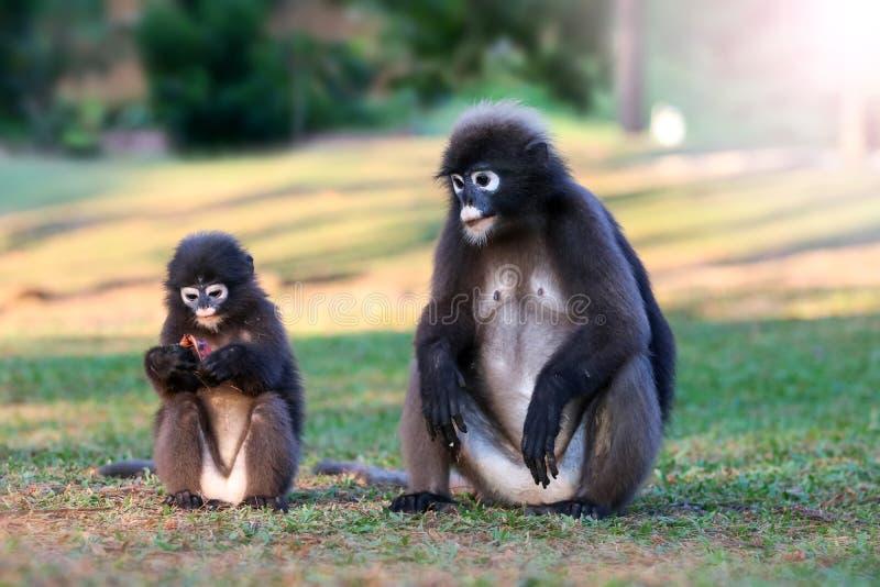 Дикое животное настолько милое на месте для лагеря, Dusky langur или обезьяне лист стоковые фото