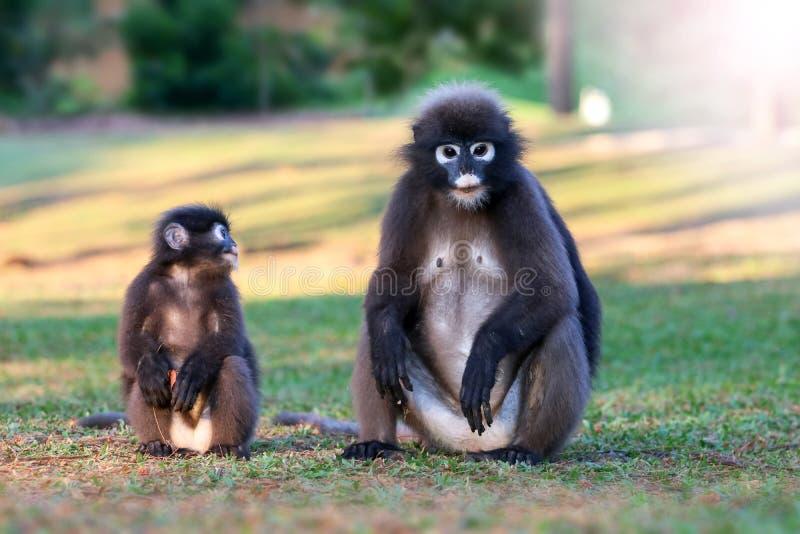 Дикое животное настолько милое на месте для лагеря, Dusky langur или обезьяне лист стоковые изображения rf