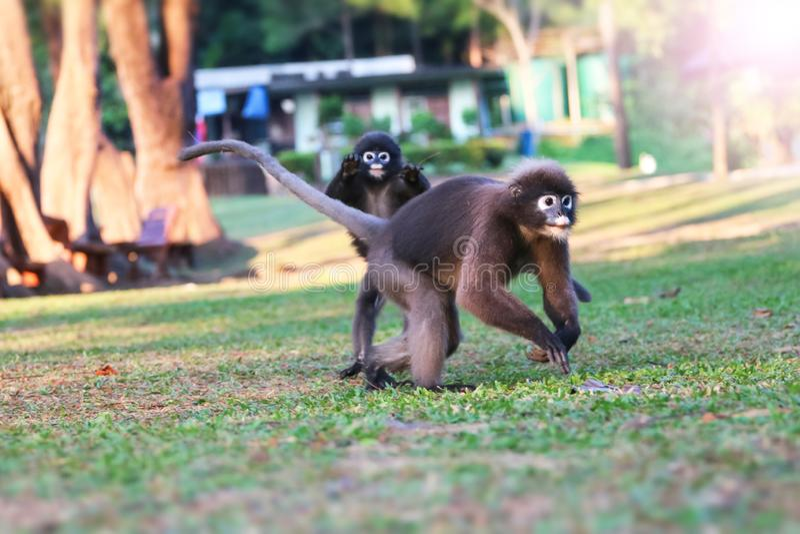 Дикое животное настолько милое на месте для лагеря, Dusky langur или обезьяне лист стоковое фото rf