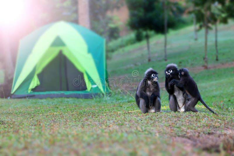 Дикое животное настолько милое на месте для лагеря, Dusky langur или обезьяне лист стоковое изображение rf
