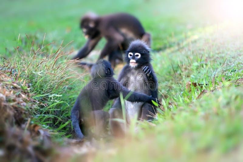 Дикое животное настолько милое на месте для лагеря, Dusky langur или обезьяне лист стоковое фото