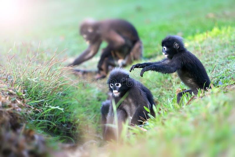 Дикое животное настолько милое на месте для лагеря, Dusky langur или обезьяне лист стоковая фотография