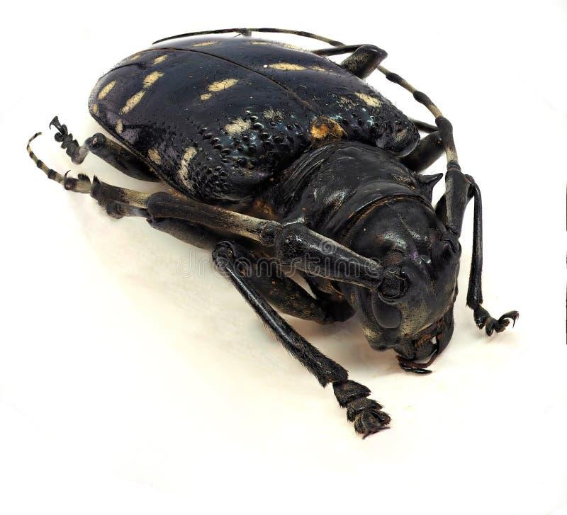 длиннее цитруса жука horned стоковые изображения
