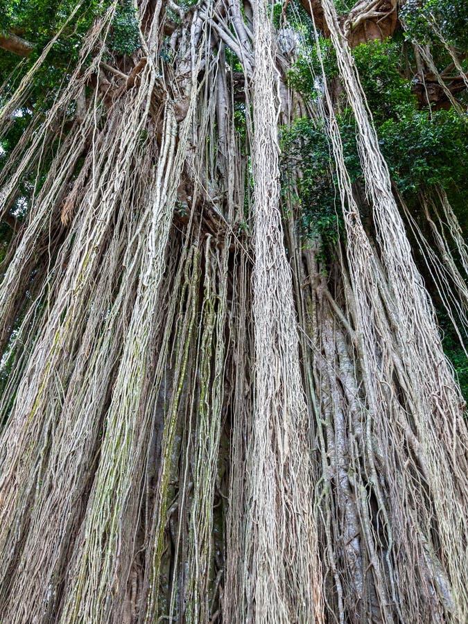 Длинный отстающ воздушные или adventitious корни на дереве стоковые изображения