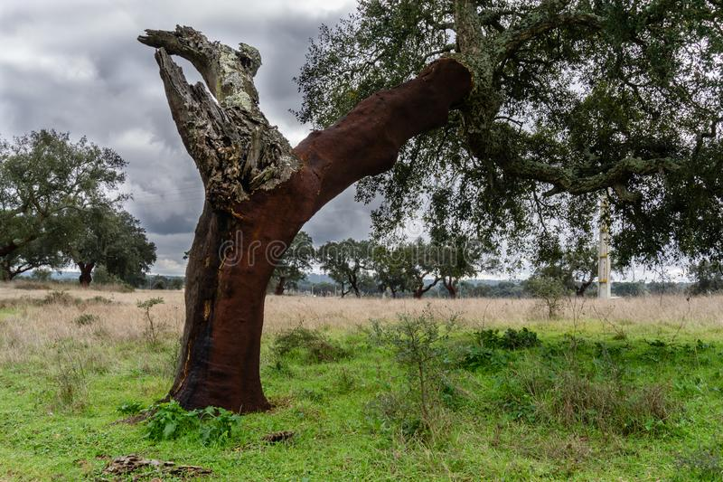 Дубы пробочки в природном парке в Santarem, Португалии стоковые изображения