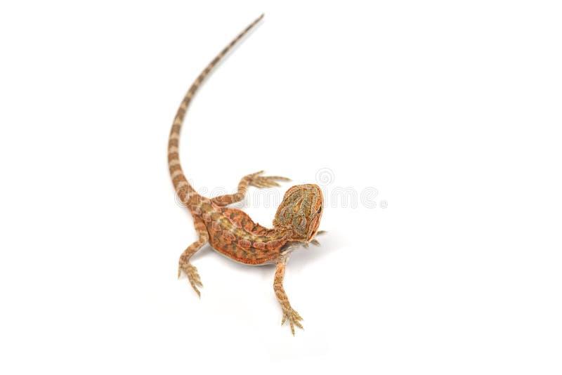 Дракон ящерицы бородатый изолированный на белой предпосылке стоковое фото