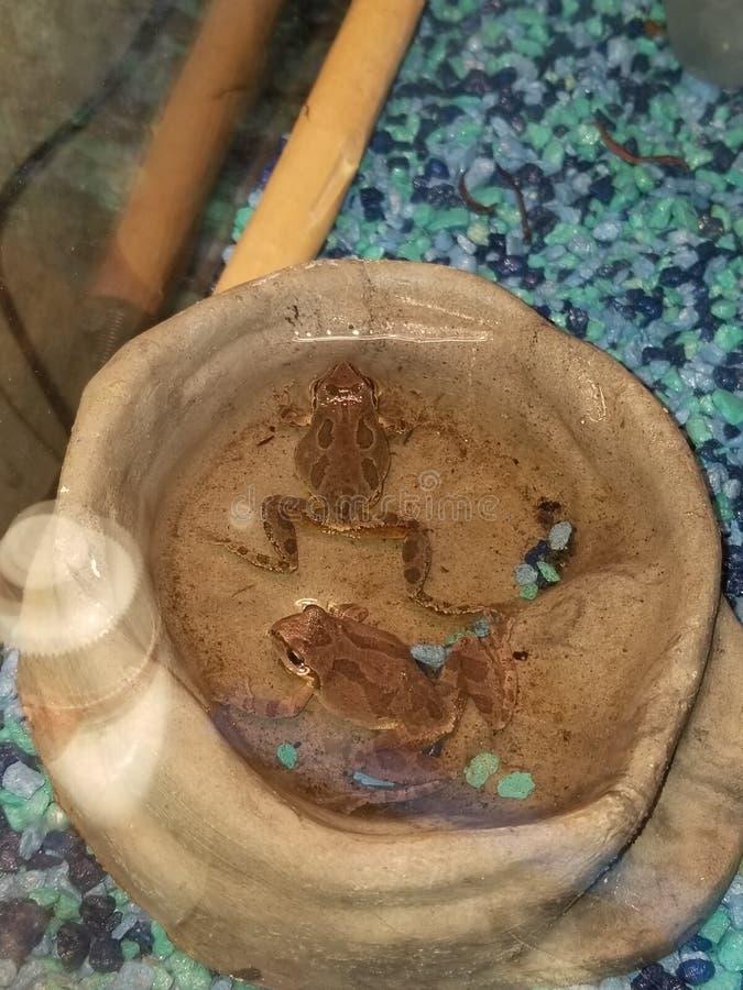 2 древесной лягушки в воде стоковые изображения