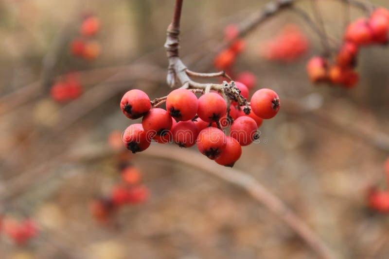 ÐÑ  биР½ а Ð ² л ÐΜÑ  у Rowan στο δάσος στοκ εικόνα