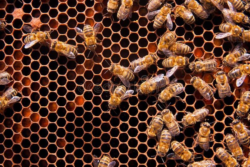 Ð ¡丢失观点的在蜂窝的工作的蜂 免版税库存照片