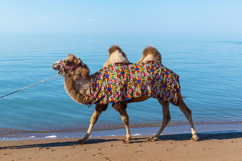 Ð ¡ amel在海滩去 免版税库存图片