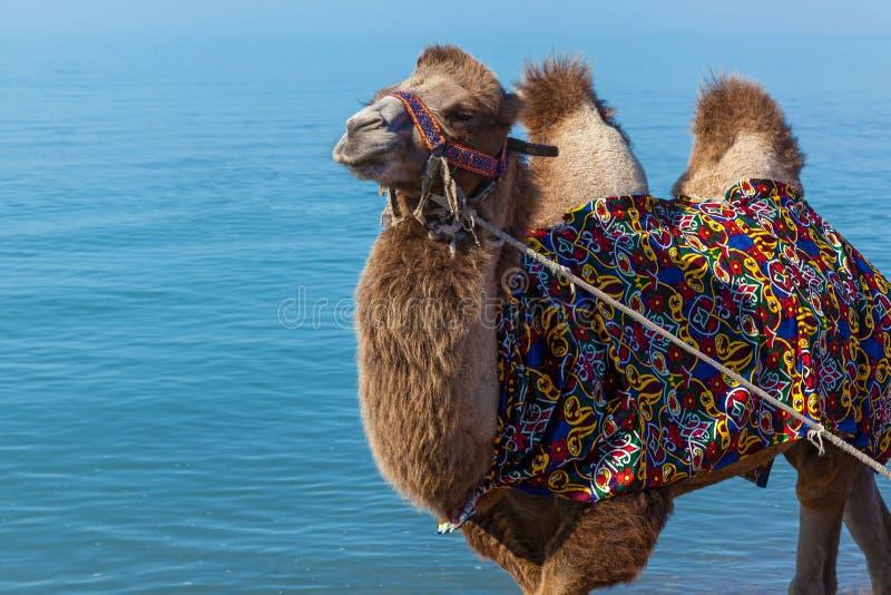 Ð ¡ amel在海滩去 免版税库存照片