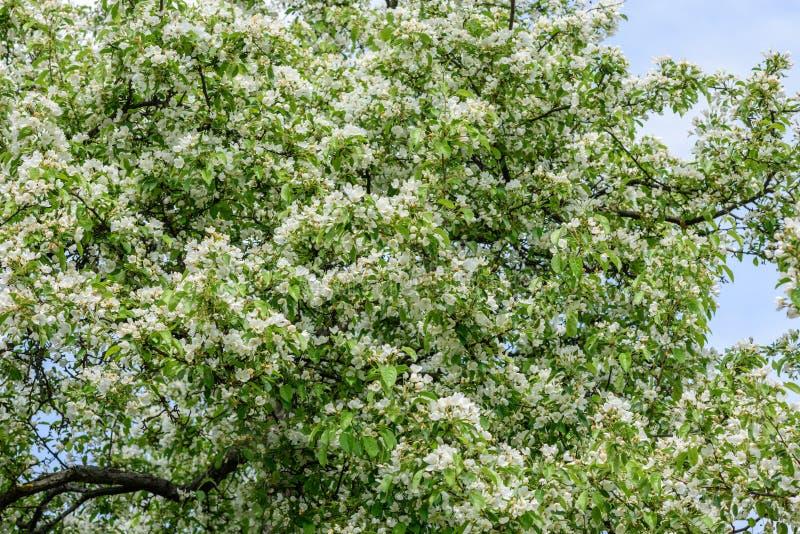 Ð-, das Birne im Garten senkt lizenzfreies stockfoto