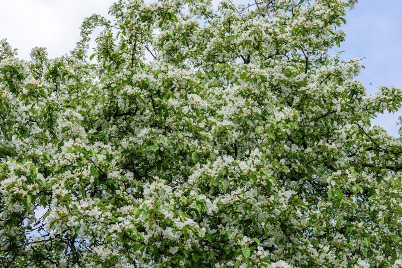 Ð-, das Birne im Garten senkt stockbilder