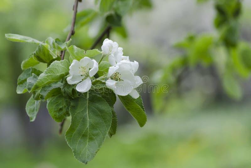 Ð'looming äppleträd Nära övre för blommor Selektivt fokusera arkivfoto