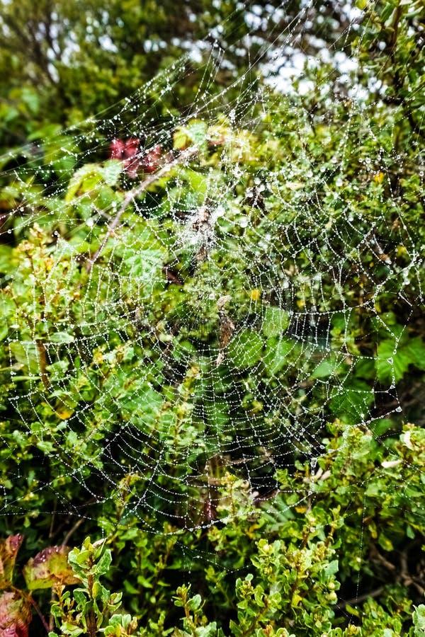 Дождевые капли на spiderweb на overcast и туманный день в Headlands, рекреационная зона золотых ворот национальная, Marin County, стоковое изображение