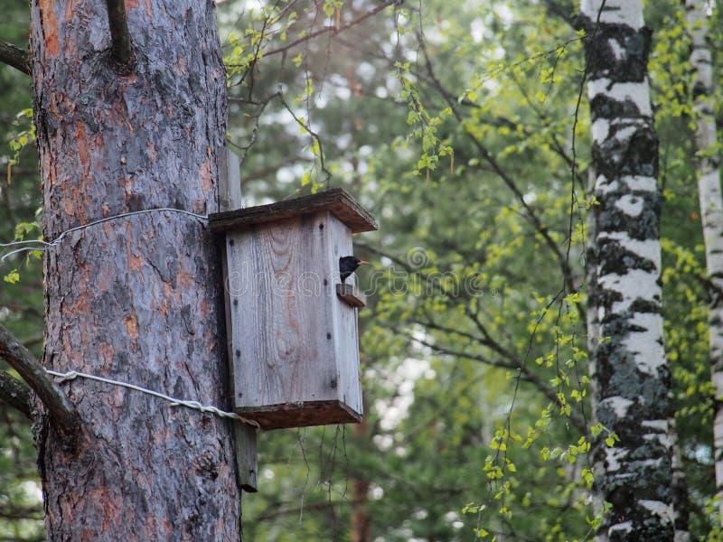 ÐStarling guarda dall'aviario L'uccello sul nido fotografia stock