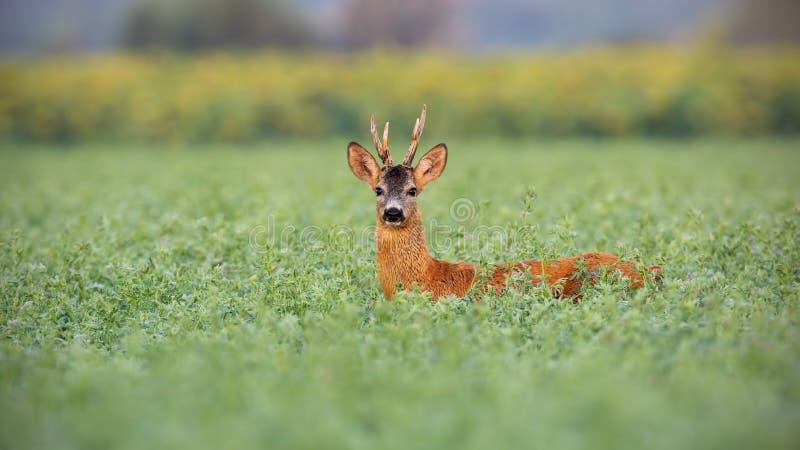 Самец оленя оленей косуль в высокорослом клевере влажном от росы стоковое фото rf