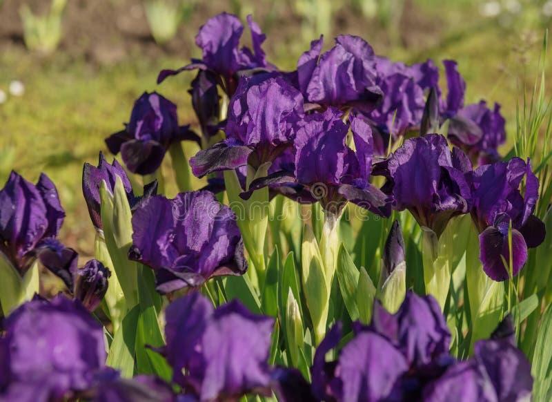 Сад радужек цветков пурпурный весной стоковые фото