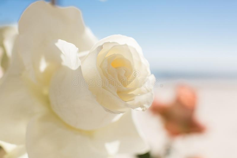 Свежая белая роза на sunreys на backround пляжа Украшение события со свежими цветками стоковые фотографии rf