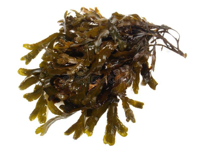 Свежая коричневая морская водоросль - здоровое питание стоковые фотографии rf