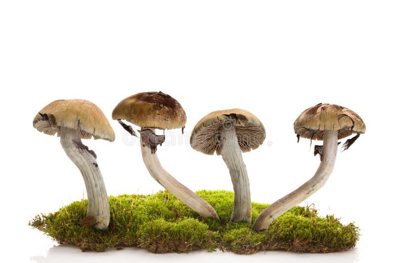 Свежие волшебные грибы на мхе изолированном над белой предпосылкой стоковая фотография