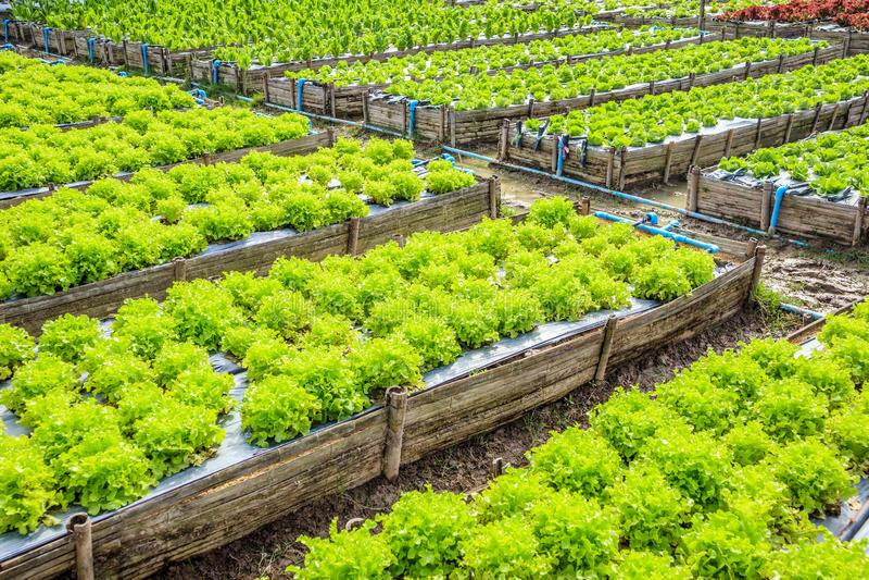 Свежий завод овоща салата зеленого салата в саде стоковое изображение