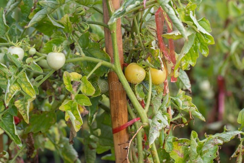 Свежий меньший томат на дереве в саде стоковое изображение rf