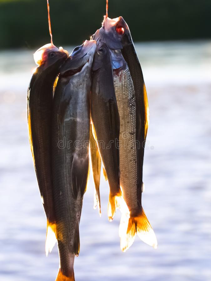 Северные рыбы уловили в реках Chukotka стоковые фотографии rf