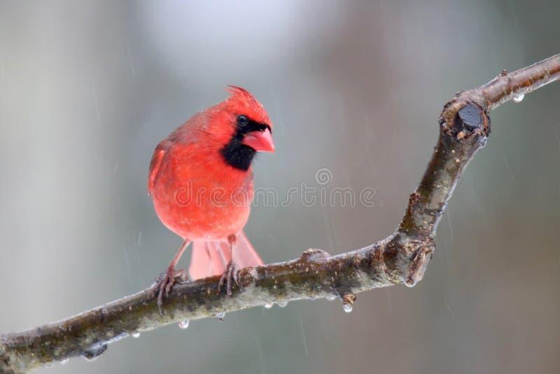 Северный кардинал на ледяной день в зиме